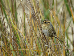 NESP_2016 (Surfishrink) Tags: chincoteaguenationalwildliferefuge assateagueisland easternshore nelsonssparrow ammodramusnelsoni