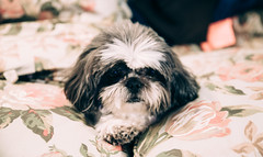 little dog (almostsummersky) Tags: cazenovia cushion newyork macro puppy paws hair floral dog shihtzu eyes nose fur couch animal unitedstates us