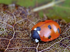 A hibernating Ladybird on a skeletal Winter leaf. (favmark1) Tags: ladybird 2017 365 365challenge day16