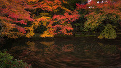 Maple pool (Jirawatfoto) Tags: maple japan garden leaves beautiful red nature autumn fall pond leaf season carp golden colorful outdoor japanese beauty pool green color water landscape traditional peaceful zen park asia natural tree
