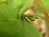 072 Praying Mantis - Common Green Mantid - Nymph (Magic Moments by Pippa) Tags: southafrica kruger nature wildlife nikon p900 insects macro closeup praying mantis green mantid