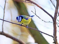 Blue Tit (eric robb niven) Tags: ericrobbniven scotland bluetit wildlife nature scottishwildlifetrust lochofthelowes dunkeld perthshire