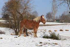 2017-01-22_11h53m08 (lecridulama) Tags: snow rhônealpes hiver winter cheval horse neige animauxdomestiques chevaux cublize auvergnerhônealpes france