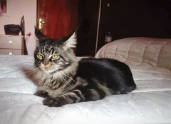 Young Maine coon on the bed (romeosilverpersian) Tags: mainecoon cats cat bed bedroom kitten tabbycats animalidomestici gatto gatti