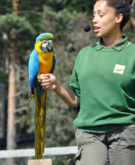 Macaw and handler (littlestschnauzer) Tags: park uk blue color colour green birds ranger display wildlife yorkshire may visit tourist staff poi tropical macaw coloured handler attraction doncaster brightly 2015