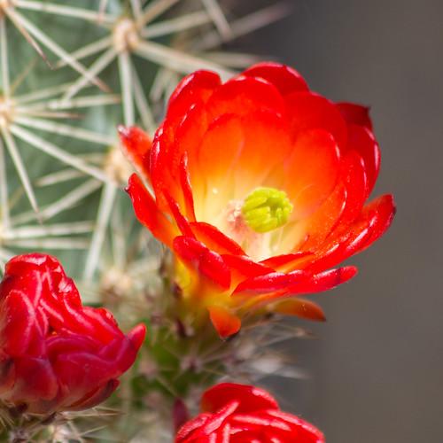 Red cactus blossom / Rote Kaktusblüten