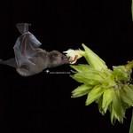 Glossophaga soricina