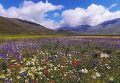 Flowers 1 (Fil.ippo) Tags: flowers panorama colors landscape meadow flowering fiori filippo paesaggio blooming sigma1020 castellucciodinorcia d7000 filippobianchi