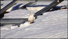 Snowy Owl (Bubo scandiacus) (Steve Arena) Tags: pink snow nikon raptor owl d750 snowyowl irruption buboscandiacus irruptive