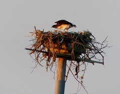 Sunrise Osprey in Nest I   --   L1080732 (mshnaya) Tags: leica light sun bird nature fauna sunrise warning dawn photo foto nest wildlife photograph cry osprey screech wildfowl leicac