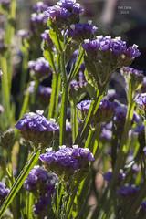 limonium sinuatum (Pat Celta) Tags: flowers flores flower macro nature flora nikon d70 flor galicia galiza florecillas macrofotografa verano2015