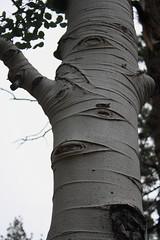 Naturaleza ByN (pinebones) Tags: san pedro alamo martir populus