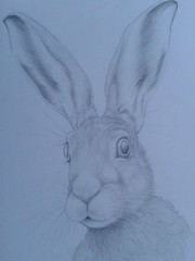 Here hare here (Kattsay) Tags: art nature pencil sketch hare drawing wildlife draw
