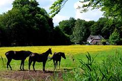 Dutch Landscape - On Explore (JaapCom) Tags: flowers horses horse holland netherlands dutch fleurs landscape wezep vinkennest jaapcom