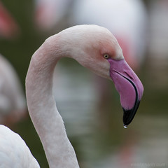 the dripping nose ... (ewaldmario) Tags: schnbrunn vienna pink portrait bird animal closeup nose zoo waterdrop dof flamingo beak feather waterbird drop drip tele pinkflamingo vogel tropfen animalportrait federn zoovienna scbr ewaldmario