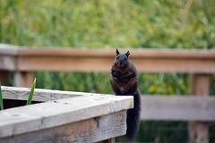 Squirrel 2 (Braden Bygrave) Tags: park cambridge ontario canada colour nature animal animals nikon like fave explore colourful nikonphotography d7100 55300mm nikond7100