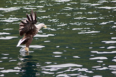 Fishing (D-i-g-g-i-e) Tags: white norway eagle lofoten tailed trollfjorden