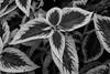 coleus bw 2 (mcsguitar1) Tags: plant kitlens d200 1855 coleus manal