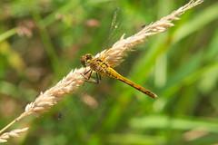 Sympetrum danae (LisaOlsson) Tags: dragonfly darter odonata trollslnda blackdarter sympetrumdanae ngstrollslnda svartngstrollslnda
