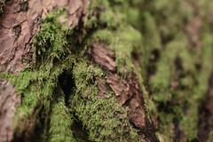 Oneonta Gorge (Tony Pulokas) Tags: oneontagorge columbiagorge columbiarivergorge moss oregon autumn fall tree douglasfir tilt blur bokeh