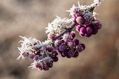 Frozen beautyberry (++sepp++) Tags: garten reif garden raureif hoarfrost pflanzen plants natur nature closeup nahaufnahme früchte fruits beautyberry liebesperlen schönfrucht callicarpabodinieri