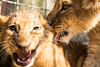 Portrait of two lion cubs (korzun) Tags: aggressive angry animal attack attacker attacking baby bigears closeup cub face lion lionet little mammal nice portrait predator russia small sweet taigan wild wildlife young zoo