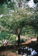 Tree fern (Matthew Paul Argall) Tags: treefern ferntree vivitareco35h fixedfocus plasticlens nophotoshophere untouchedandunedited cheaplens 35mmfilm plant plants green garden agfaphotovistaplus agfaphoto vistaplus 400speedfilm 400isofilm kalorama yarraranges