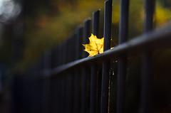 Another leaf (KubaFej) Tags: nikon d7000 fotofejs nikkor 50 14 ai leaf autumn fall