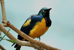 golden breasted starling (Millie Cruz) Tags: goldenbreastedstarling tropical bird philadelphiazoo philadelphiapa beautiful colorful colors amateurphotography animalplanet canon canoneos efs55250mmf456isstm interesting nature rebelt6i sky zoo