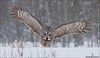 Great Gray Owl (Daniel Cadieux) Tags: owl greatgrayowl chouettelapone flight fly flying stare wings forest hunt hunting field meadow winter snow snowing cold