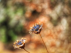 Überbleibsel (Vintage lens lover) Tags: bokeh natur pflanzen blumen olympus em1 zuiko124028 pro
