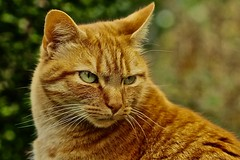 Cat (heiko.moser (+ 11.300.000 views )) Tags: cat katze kater tier tiere animal animale natur nero nature natura nahaufnahme color canon closeup entdecken farbig heikomoser