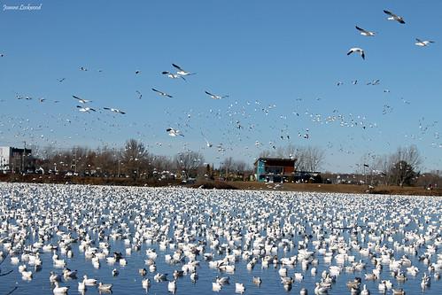 Flock Snow Geese
