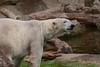 Eisbärin Huggies im Ouwehands Dierenpark (Ulli J.) Tags: zoo niederlande nederland netherlands paysbas nederlandene utrecht rhenen ouwehandsdierenpark eisbär polarbear ourspolaire isbjørn ijsbeer