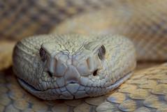 The stare of the rattlesnake (FocusPocus Photography) Tags: texasklapperschlange klapperschlange westerndiamondback rattlesnake snake giftschlange venomous tier animal crotalusatrox schlange reptil reptile reptilium landau