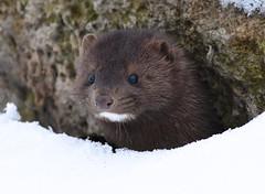 Mink (aj4095) Tags: mink wessel animal outdoor nature wildlife ontario toronto canada