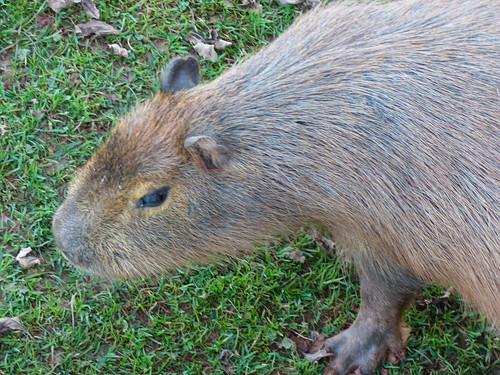 South Lakes Zoo - capybara (2)
