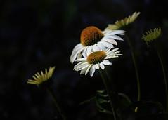 Coneflowers (mclcbooks) Tags: flower flowers floral echinacea coneflowers white denverbotanicgardens colorado