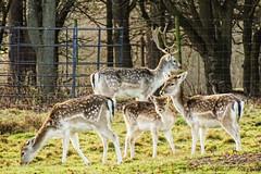 The Fallow Deer of Attingham -Shropshire (Macro light) Tags: nationaltrust attingham shropshire deer deerpark fallowdeer winter cute