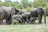 Elephants taking a Mud Bath after the Rain (marccrowther) Tags: nikon d7100 nikond7100 tamron 150600mm tamron150600 tamron150600mmf563 tamronsp150600mmf563divcusd kruger krugernationalpark southafrica mpumalanga wildlife wild safari elephant ellies elephants