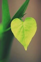Love is everywhere (M.J.H. photography) Tags: love heart plant fliwer bleedingheart
