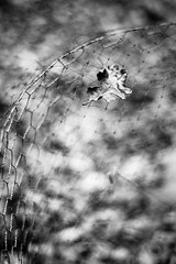 When the Trapeeze Breaks (belleshaw) Tags: blackandwhite ranchosantaanabotanicgarden nature mesh obsession chickenwire cage protection leaf winter dried fallen caught detail bokeh