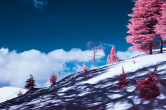 Dead and Alive (Jack R. Seikaly Photography) Tags: lebanon cedar cedars cedrus libani lebanese infrared ir nature snow winter mountain tree sky shadow jack seikaly jrseikaly photography outdoor blue