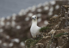 Scotland (richard.mcmanus.) Tags: scotland uk britishwildlife gannets northerngannets bird animal mcmanus trouphead gettyimages