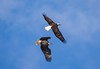 7K8A9001 (rpealit) Tags: scenery wildlife nature new york state bald eagles bird