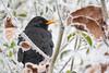 Blackbird     Amsel (Natural Photography by CJH) Tags: amsel blackbird black garden garten ice snow winter bird vogel natural wildlife nature wild nikon d500 telephoto 300mm pf f4 300mmf4 300f4 nikkor pfedvr tc14eiii