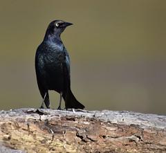 Sentinel (delphinusorca) Tags: blackbird brewersblackbird cambria california nikon200500f56