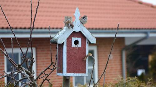 Skovspurve, Tree Sparrow, Feldsperling, Passer montanus (1 of 2)