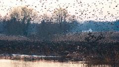 Starling roost at Ham Wall (Steve Balcombe) Tags: bird starling sturnus vulgaris flock roost rspb hamwall avalonmarshes somerset levels uk