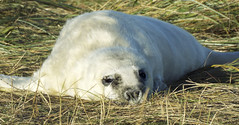 Donna Nook Seal5 (oliverrodgers1) Tags: seal commonseal donnanook mammal sea beach